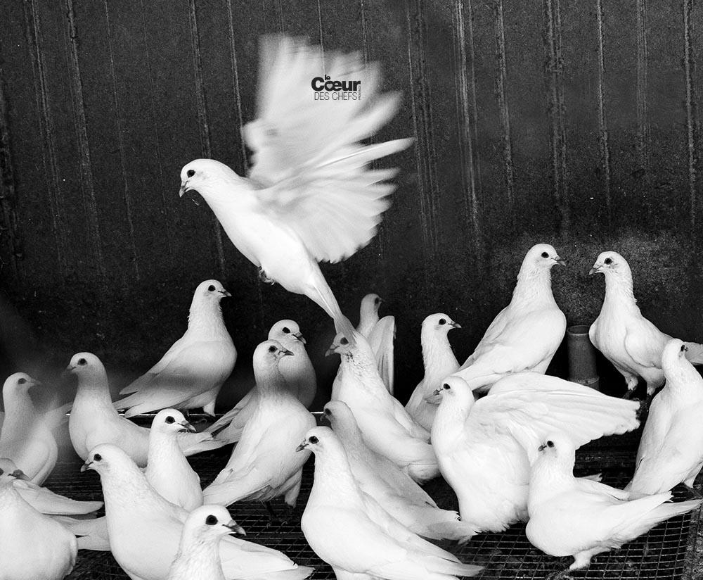 Pigeon Costière